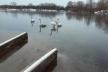 У Рівному рятували лебедів (Фото)