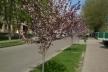 На Рівненщині зацвіла алея незвичайних дерев (Фото)