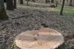 На Поліссі покрали велетні-дуби