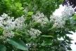У Рівному цвіте небесне дерево – катальпа