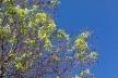 Знову цвітуть каштани? – Аномалії осені у Рівному