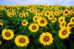 Рівненщина має найбільший валовий збір зерна