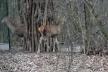 У Рівному поселилися олені (Відео)