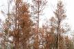 На Рівненщині хворіє ліс