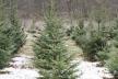 Лісівники Рівненщини виростили до свят понад 90 тисяч новорічних дерев