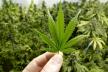 Правоохоронці конфіскували марихуану у мешканця села Рафалівка