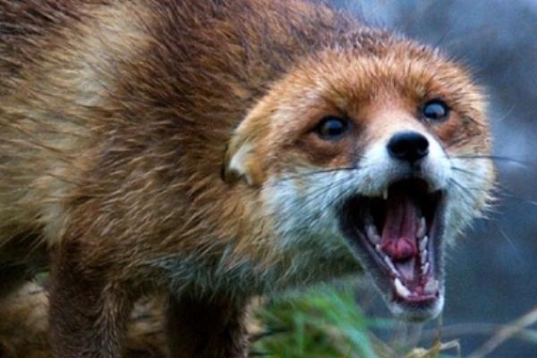 Скажену лисицю виявили на Рівненщині
