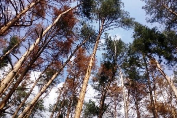 На Рівненщині у соснових лісах епідемія. Лісівники б'ють на сполох