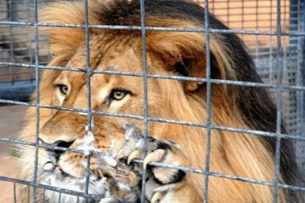 Голова Рівного не виділив 2,5 мільйона гривень на клітку для лева