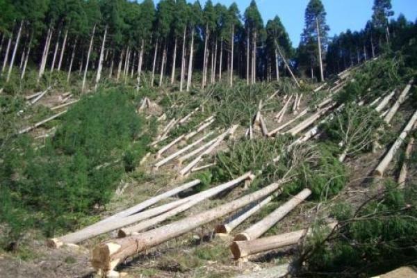 Навколо села Гута, що на Костопільщині немилосердно ріжуть ліс (відео)