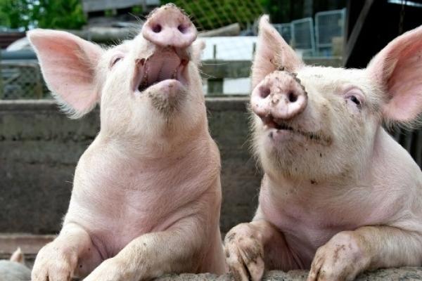 На Рівненщині й досі карантин через африканську чуму свиней