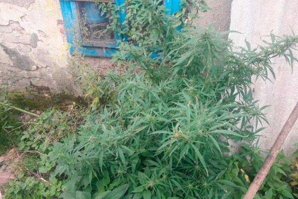 Коноплі для курчат: на Рівненщині поліцейські виявили п'ять фактів, пов'язаних із незаконним обігом наркотиків