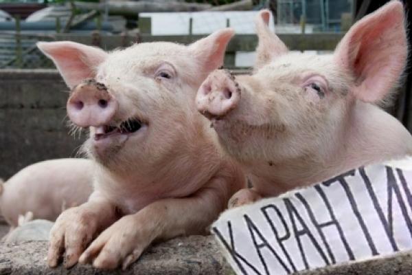 У селі Острів на Дубенщині виявили африканську чуму свиней