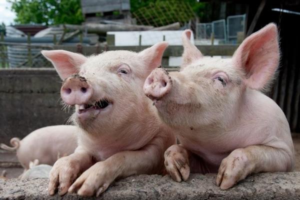 На Рівненщині можуть з'явитися свині без документів