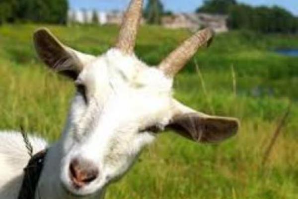 Де в Рівному завтра можна буде подоїти козу, заплести коня та спробувати домашнього сиру?