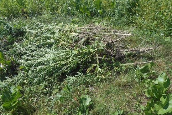 На Рівненщині знищили десятки тисяч наркотичних рослин (Фото)