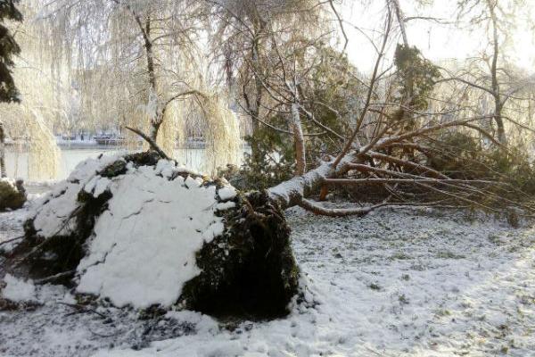 Наслідки снігопаду: у Рівному повалило дерева (Фото)