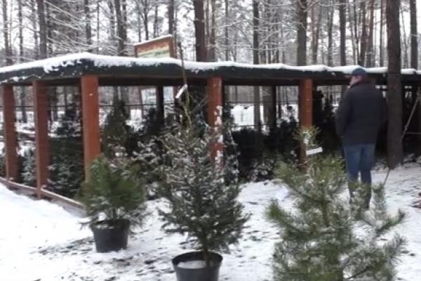 Рівняни дізнавалися, як з'являються новорічні ялинки (Відео)