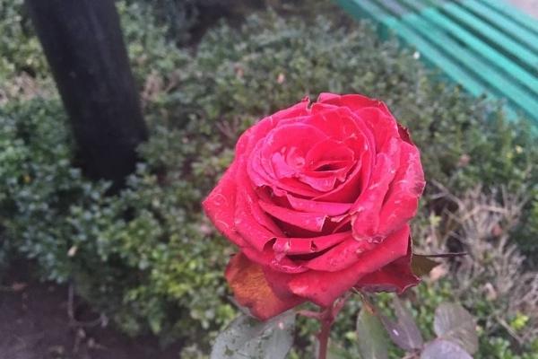 У Рівному перед Різдвом біля Покровського собору розквітла троянда (Фото)