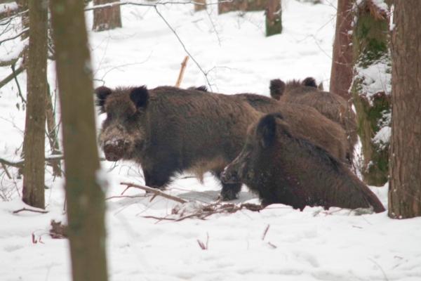 На Рівненщині розпочали відстріл диких кабанів