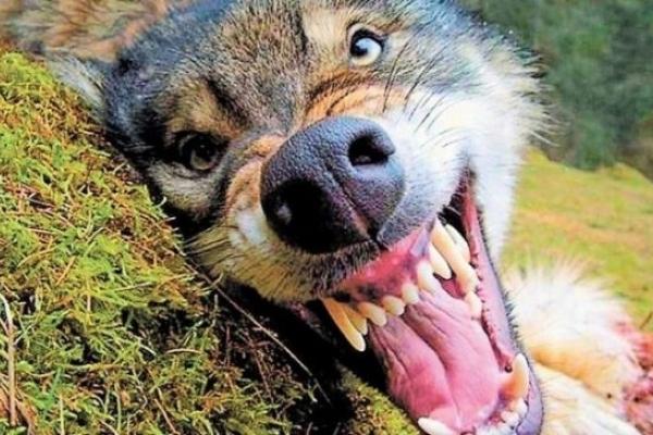 На Поліссі скажений вовк нападав на людей та тварин: подробиці