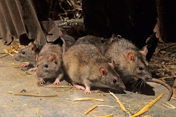 В багатоповерхівці оселилися щурі (Відео)