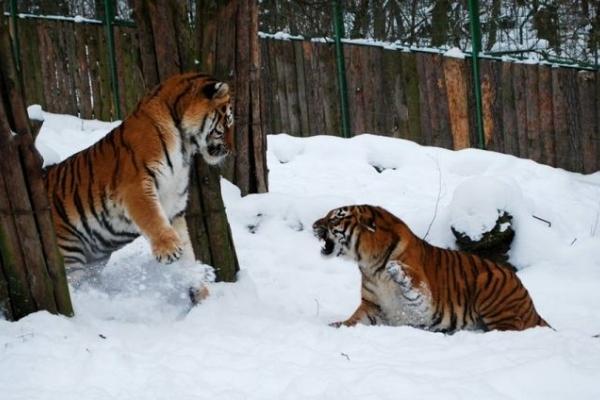 Рівненські тигри зчинили бійку (Фото)