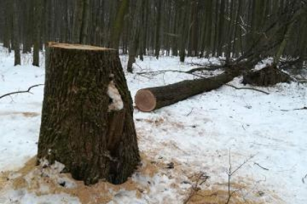 Рівняни вчинили незаконну вирубку дубів