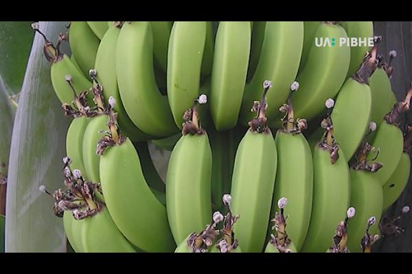 Як на Рівненщині фермер вирощує екзотичні фрукти (Відео)