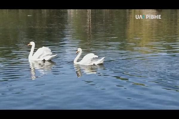 На Лебединку у Рівному повернули лебедів (Відео)