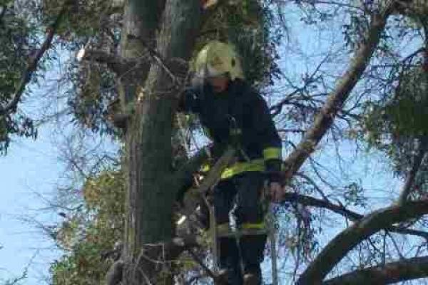 У Рівному зрізали аварійні дерева