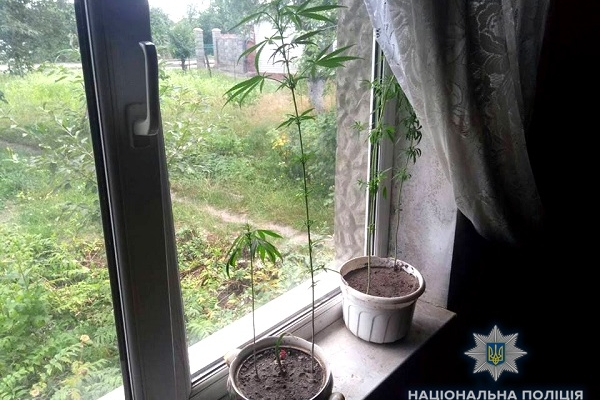 Жителі Рівненщини вирощують наркотики прямо на підвіконнях (Фото)