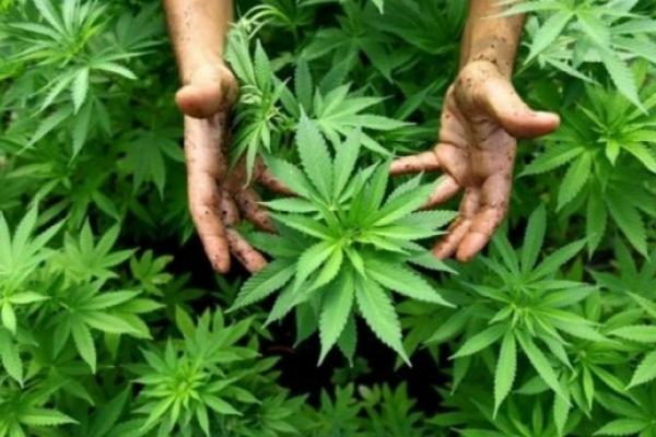 У жителя Рівненщини виявили незаконний посів нарковмісних рослин