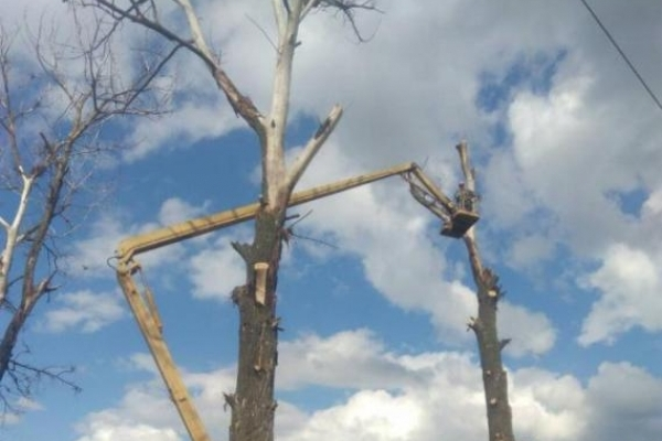 Сарни звільняють від високих мертвих дерев