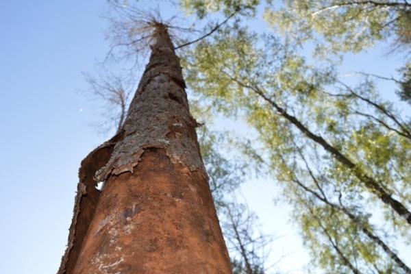 На Рівненщині всихають хвойні ліси