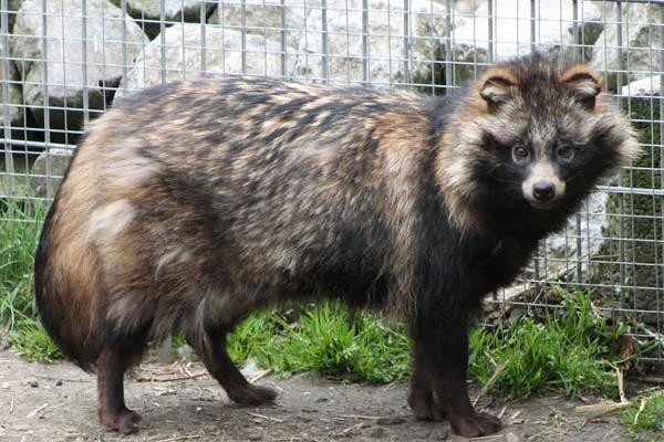 На Рівненщині зафіксовано випадок сказу єнотовидної собаки