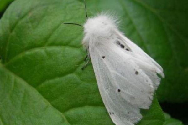 У Гощі борються з нашестям американського білого метелика