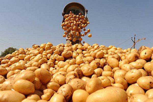 Жителям Рівненщини на замітку: як зберігати насіннєву та фуражну картоплю