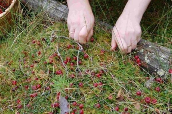 За п'ять мішків журавлини – п'ять років заборони в'їзду в Білорусь
