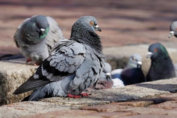 Жителям Рівненщини на замітку: які інфекції можуть переносити птахи?