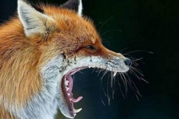 На Рівненщині відстрілюють лисиць