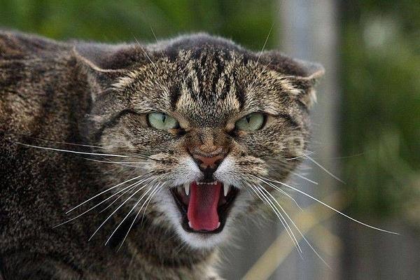 Скажений кіт покусав дитину на Рівненщині