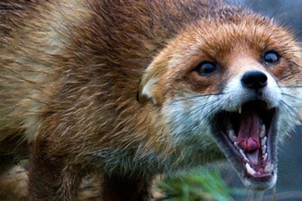 На Рівненщині застрелили скажену лисицю