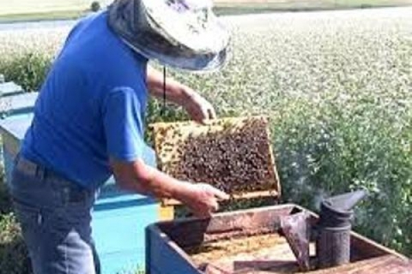 Пасічники  зможуть страхувати бджіл