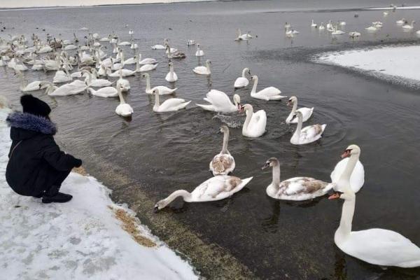 Білокрилі красені знову зимують на водосховищі ХАЕС (фото)