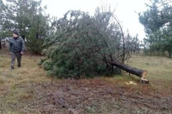 Лісівники Соснівського лісгоспу «нарубали» фінансових порушень на півмільйона гривень