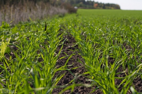 У Рівненській області посіви озимих перезимували добре