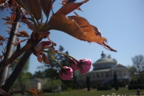 На Рівненщині зацвів японський сад (Фото)