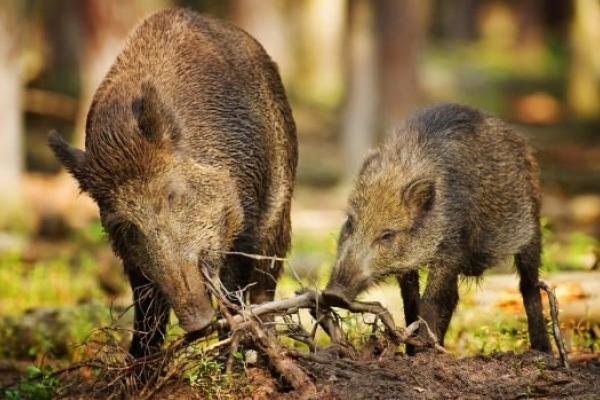 На Рівненщині ліс винищили бурштинокопачі, а донищують жуки так дикі кабани