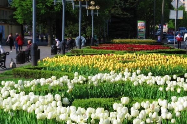 «Майже Голландія»: рівняни діляться світлинами весняних квітів (Фото)